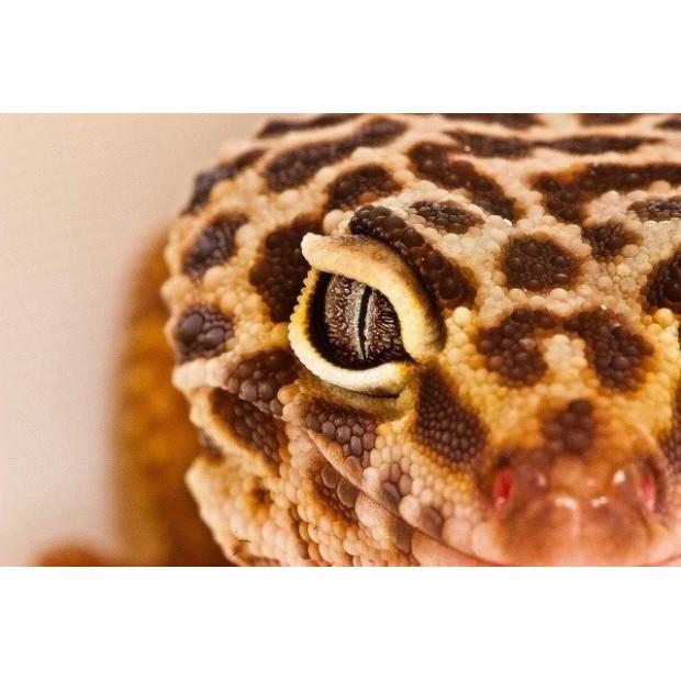 Gekko léopard