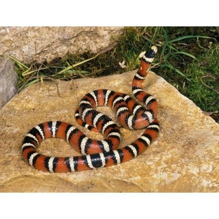 Serpent Roi du Chihuahua