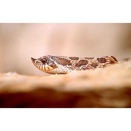 Serpent à groin (à nez de cochon)