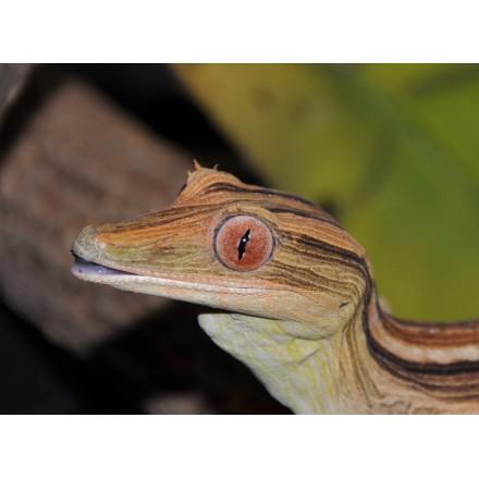 Gecko de Madagascar ligné